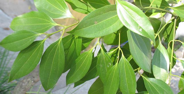 シナモンの葉