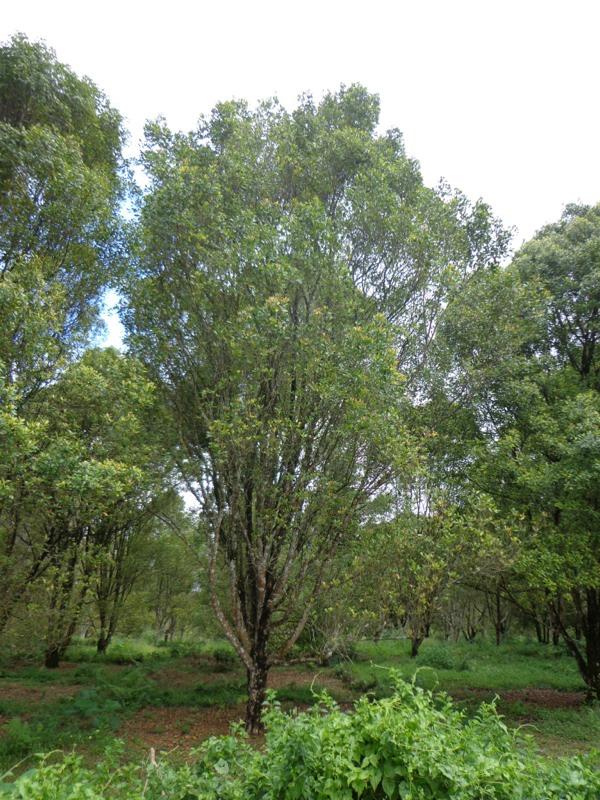 クローブの木
