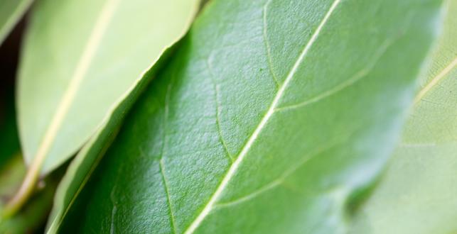 フレッシュローリエの葉