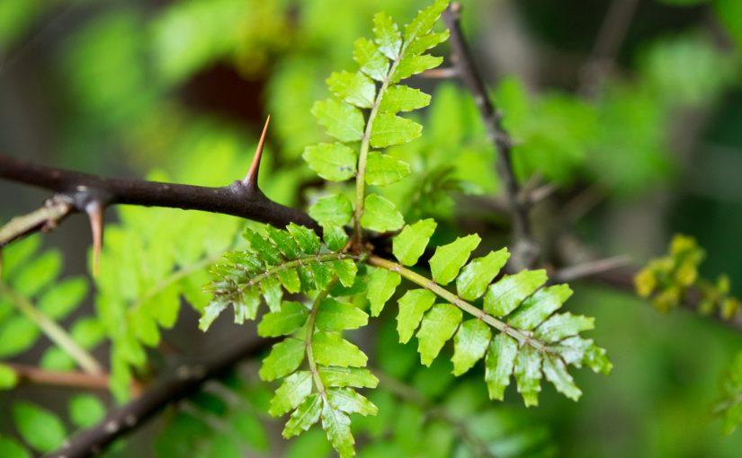 山椒の葉はハーブ、山椒の実はスパイス、さらに花も皮も楽しめます